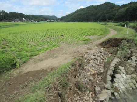 福知山支店管内の水田。 水はひきましたが、稲がなぎ倒されています。
