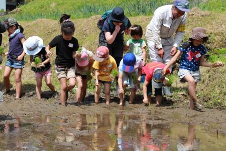 子どもたちが歓声をあげながら田植え開始!