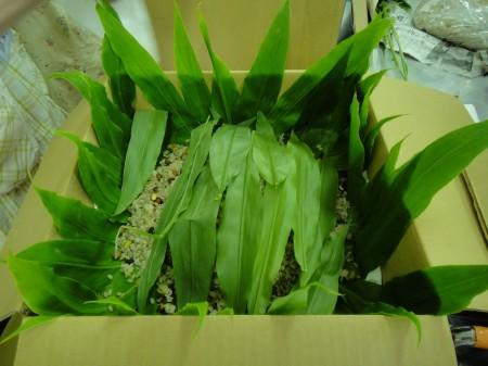 箱には殺菌作用のあるみょうがの葉を敷き、 上からもかぶせました。 昔の人の知恵はすばらしいですね!