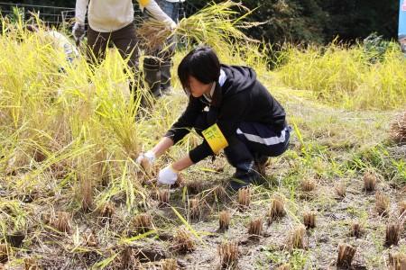 スタッフとしての参加ですが、大江支店職員も稲刈りを体験(^^)