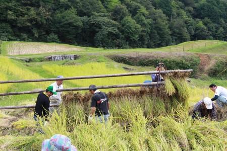 刈った稲を稲木に干します。