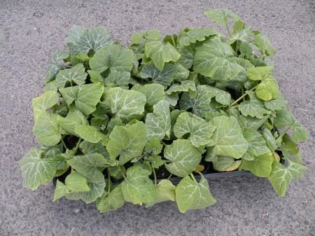 京の伝統野菜「鹿ケ谷カボチャの苗」