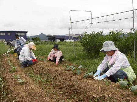前回定植したブロッコリー・キャベツ苗の補植作業!