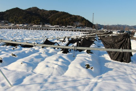 大雪により倒壊した茶園(綾部市)