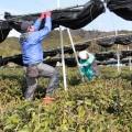 最終日は、綾部市「たち」の茶園を復旧活動しました。