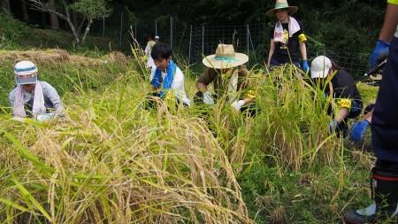 農業体験研修を兼ねて、2年目職員も稲刈りに参加!!