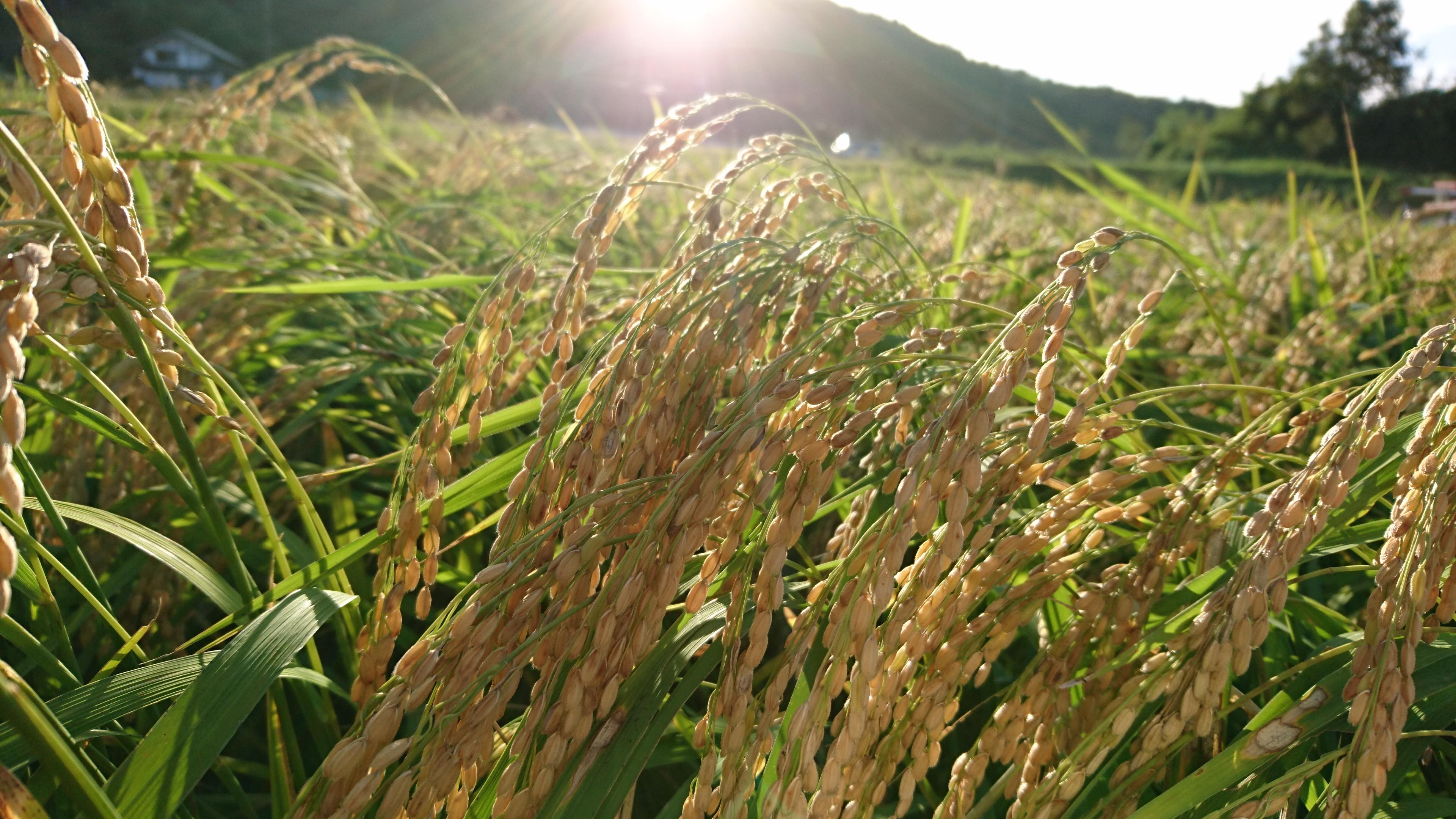 平成30年産 米の食味ランキング 丹波コシヒカリA