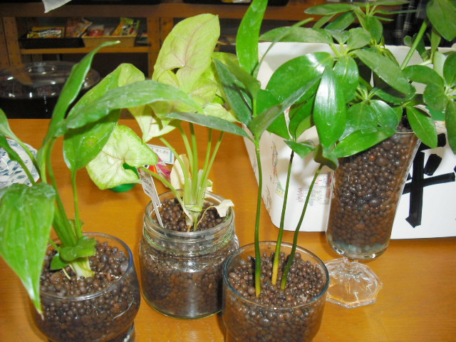 カルチャー ハイドロ 話題のハイドロカルチャーって何?メリットと注意点、おすすめ植物